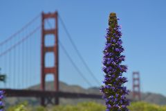 Purple Flower With the Golden Gate Bridge in the Distance Stock Images