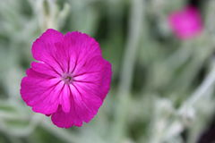 Purple Flower. Gorgeous purple flower contrasting with the grey stems Royalty Free Stock Photos