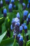 Purple Flower Grape Hyacinth Muscari Latifolium stock image