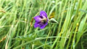 Purple flower in the grass. Beautiful purple flower in the grass stock video