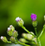 Purple Flower of grass. On green Stock Photo