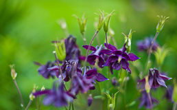 Purple flowers on green Royalty Free Stock Photo