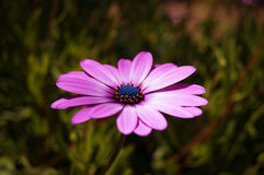 Purple flower on green background.  Stock Photography