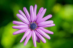 Purple flower on a green background Royalty Free Stock Photography