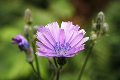 Purple flower on green background. Flowering in the woods. Lactuca tatarica stock photos