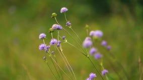 Purple Flower. At green field stock video footage