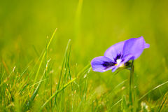 Purple flower in green grass Stock Photos
