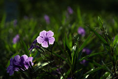 Purple flower with green leaf. Purple flower with green leaf in a garden Royalty Free Stock Image