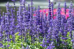 Blue Salvia flower and green leaf in garden at sunny summer or spring day for postcard beauty decoration and agriculture design. Purple flower and green leaf in stock image