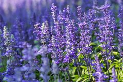 Blue Salvia flower and green leaf in garden at sunny summer or spring day for postcard beauty decoration. Purple flower and green leaf in garden at sunny summer stock photo