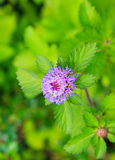 Purple flower and green leaf Royalty Free Stock Images