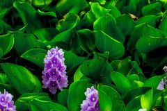 Purple flower and green leaves. Background royalty free stock photos