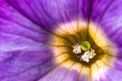 Purple flower and green stamen Stock Images