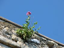 A purple flower growing from the castle wall with a blue sky background in Lerici Italy. Purple flower growing castle wall blue sky background lerici italy stock photography