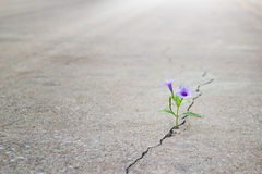 Purple flower growing on crack street, soft focus. Blank text royalty free stock photography