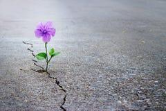 Purple flower growing on crack street, soft focus. Blank text stock photos