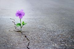 Free Purple Flower Growing On Crack Street, Soft Focus Stock Photos - 106259853