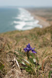 Purple flower grows on cliff over Pacific Ocean Royalty Free Stock Image