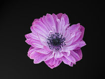 Purple Flower Head. Purple ruffled Anemone on black background Stock Photo