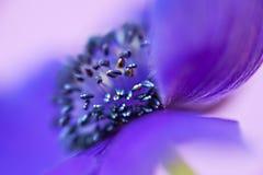 Purple Flower Heart. Macro of purple anemone flower royalty free stock photos