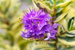 Purple flower of hebe variegate Waireka evergreen plant Shrubs Royalty Free Stock Image