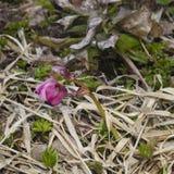 Purple flower of the helleborus hybridus, Christmas or Lenten rose, in dry grass, shallow DOF, selective focus. Purple flower of the helleborus hybridus stock images