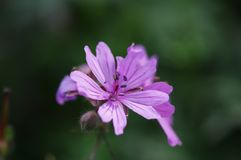 Purple flower. In the hill Simple is beautiful bud spring green background Royalty Free Stock Images
