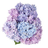 Purple flower hydrangea (Clipping path) Royalty Free Stock Image