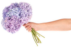 Purple flower hydrangea in hand (Clipping path) Stock Photos