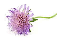 Purple flower,isolated on white background Stock Photo