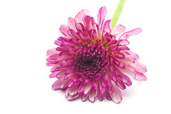Purple flower. An isolated purple flower on white background Royalty Free Stock Images