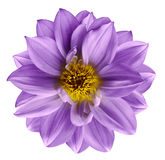Purple flower on  isolated white isolated background with clipping path.  Closeup. Beautiful  violet flower for design. Dahlia. Nature Royalty Free Stock Images