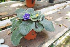 Purple flower of Kalanchoe Stock Images
