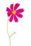 Purple flower kosmeya Royalty Free Stock Image