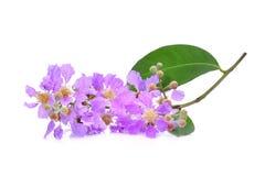 Purple flower Lagerstroemia floribunda isolated on white. Background stock images