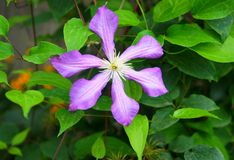 Purple flower. Large flower on a background of green foliage Stock Photography