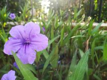 Purple flower. In the late morning stock image