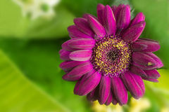 A purple flower. With leaves in background Royalty Free Stock Photos