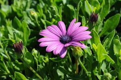 Purple flower among leaves and buds Stock Photos