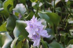 Purple flower. Purple/lilac rainforrest flower Royalty Free Stock Images