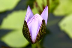 Purple Flower and Lilypad Royalty Free Stock Photo