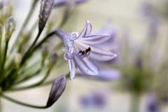 Purple Flower. A lovely purple bell flower in bloom royalty free stock image