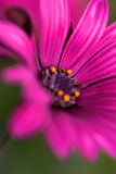 Purple flower. Macro close up Royalty Free Stock Photo