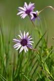 Purple flower macro Royalty Free Stock Images