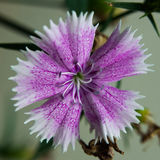 Purple flower macro Royalty Free Stock Photos