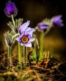 Purple flower Stock Photography