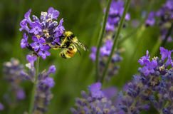 Purple Flower Macro Photography Stock Image