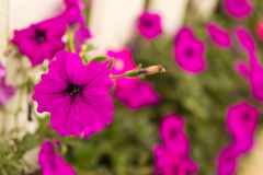 Purple flower Stock Image