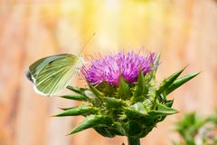The purple flower is a medicinal plant Silybum marianum with leaves,. Natural background stock photo