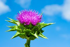 The purple flower is a medicinal plant Silybum marianum with leaves,. Natural background royalty free stock image